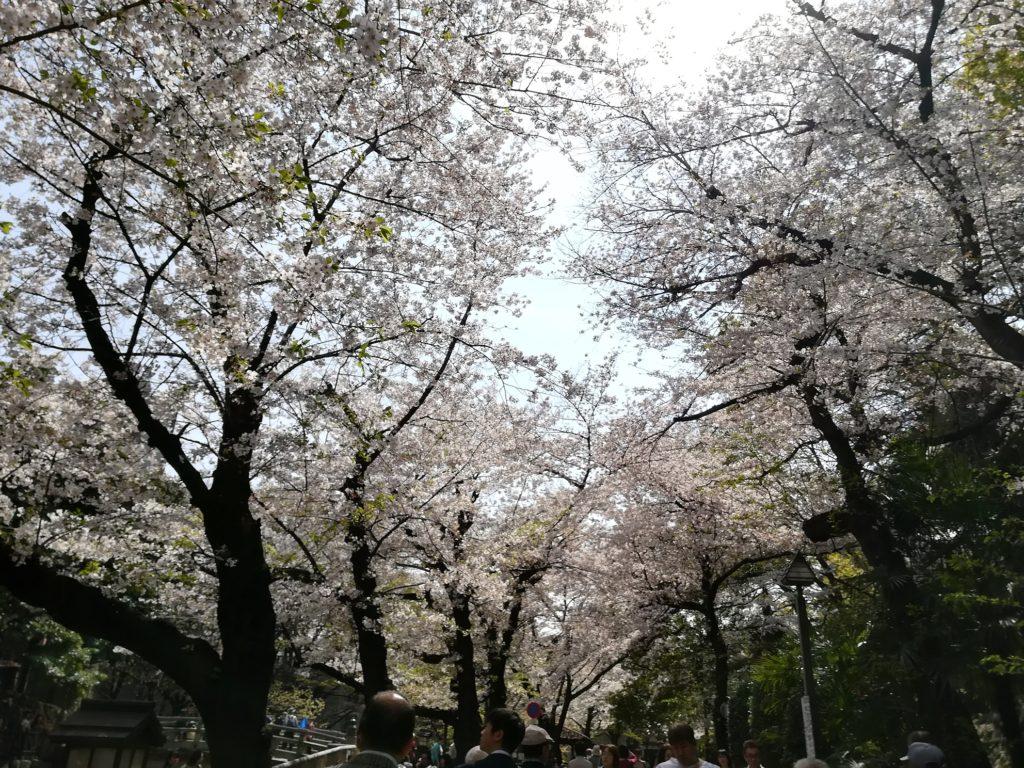 桜満開の時期❀